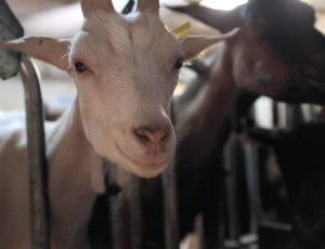 Chèvrerie & Cows ©Steph Chevrerie (1)