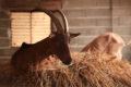 Chèvrerie & Cows ©Steph Chevrerie (3)
