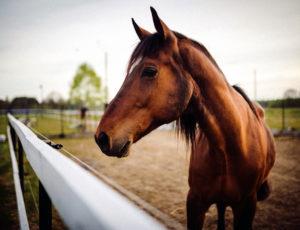 cheval –  Centre équestre les joncs