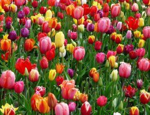 tulipes printemps – Copie